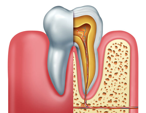 Diagram of tooth showing tooth root